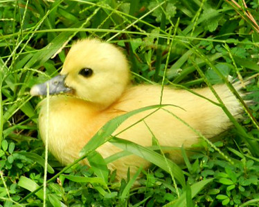 Young duckling in the grass