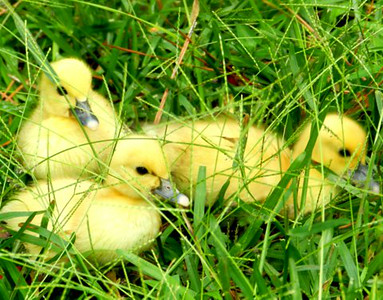 Young ducklings in the grass