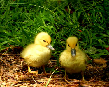 Two young ducklings ready to roost