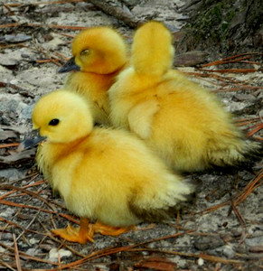 Young ducklings ready to roost