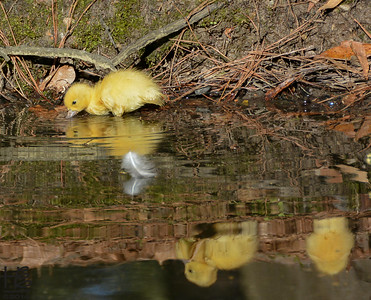 04-09-14 An optical illusion with the young duckling in the water with her siblings upside down in the reflection.  The focus is on the duckling so the reflection is not as clear as it was to the eye.  I love the white feather barely touching the water yet with its own reflection.