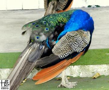 Peacock grooming