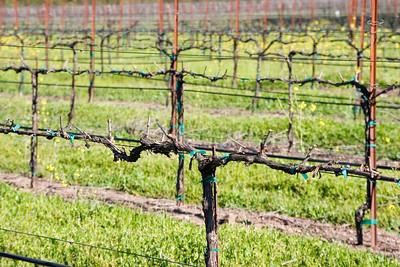 Wine Vines 1