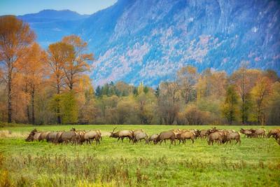 Elk Herd Fall Mt Si Background