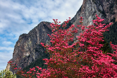 Red Flowering Dogwood Mt Si Spring