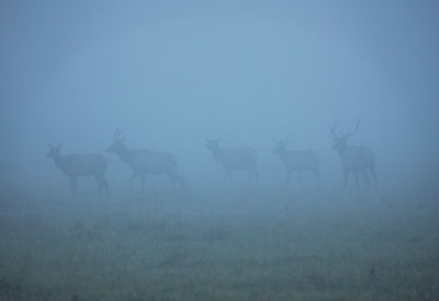 Ghost Elk in Early Morning Fog