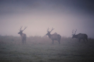 Trio of Bull Elk in the fog
