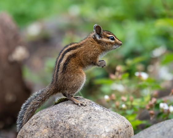 Chipmunk strikes a pose