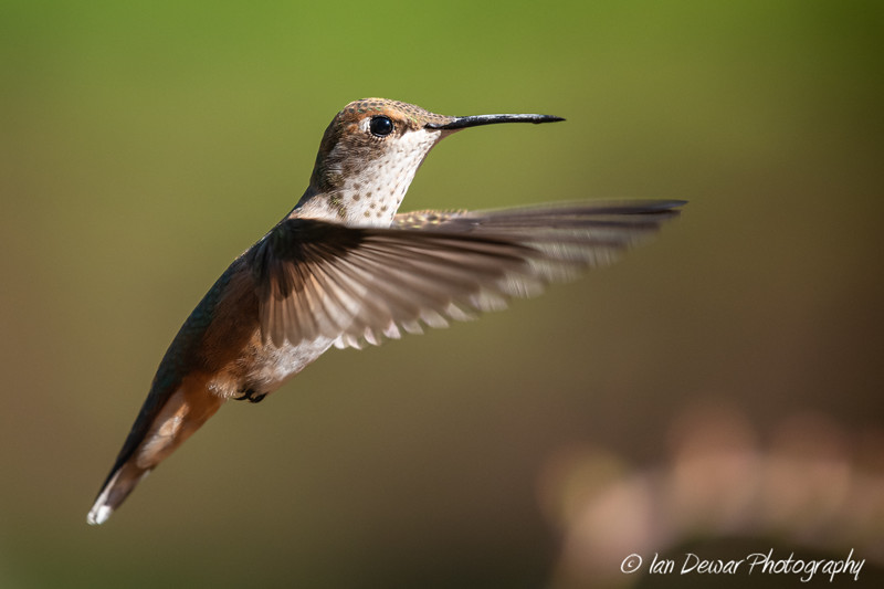 Rufous Hummingbird in hover