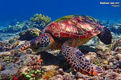 Snorkeling at Apo Island