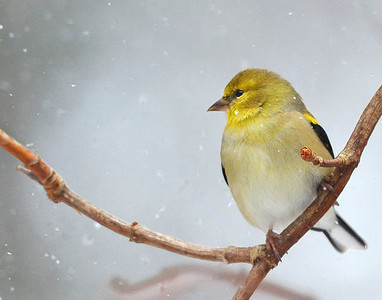 American Goldfinch (male) in winter plumage.