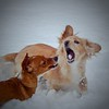 Our dauchshund pups Porkchop & Piglet wrestling in their first snow. Submitted by Brandi Simmons & Angie Painter of rural Effingham