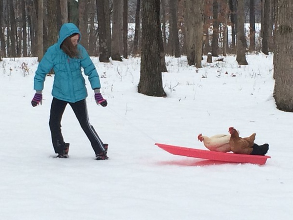 Emily Greuel gives her chicken a sled ride. <br /> Submitted by Karan Greuel