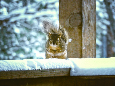 Smart squirrel on deck rail asking for a handout.