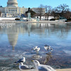 Ring billed gulls search for food at the U.S. Capitol's reflecting pool, January 24, 2014