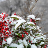 Snow, Washington DC, January 21, 2014<br /> Holly berries