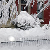 What kind of tree is that under all that snow, does anybody know?  1453S Street NW, February 6, 2010
