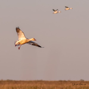 After leaving the Bobcat, I started seeing some geese flying low