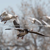 Snow goose and Blue Goose