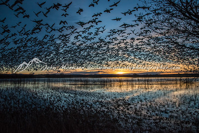 Snow geese at sunrise at Bosque del Apache, New Mexico