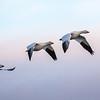 Snow Goose Migration - Victoriaville, Quebec - November 2016