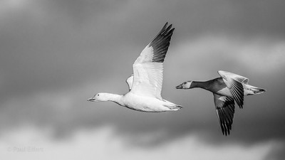 Snow Goose Migration - Victoriaville, Quebec - November 2016