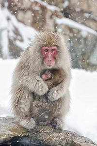 Snow Monkeys Jigokudani JAPAN Feb 2014