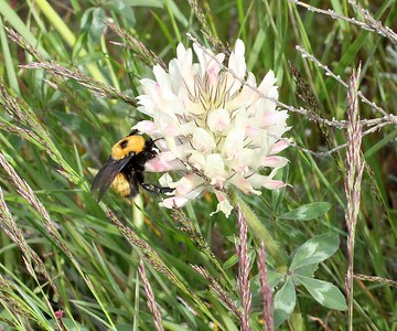 Native bumble bee on a Big Clover