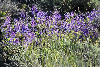 Common Larkspur