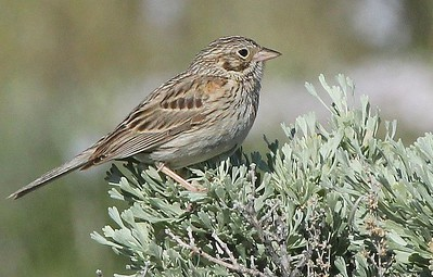 Vesper Sparrow, Snow Mountain, 2013