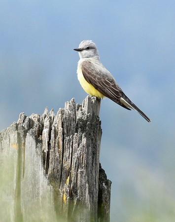 Western Kingbird, Wenas area, 5-11-15