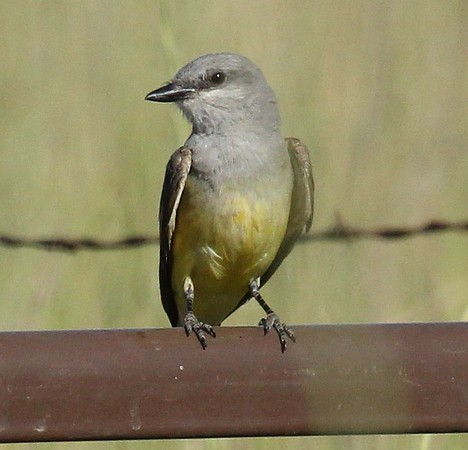 Western Kingbird near Lateral C, 2014