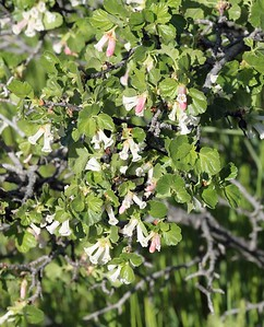 Ribies cereum, AKA Squaw Currant