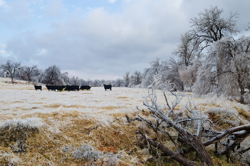 Cattle graze in an icy field following a major ice storm in Norman, OK, on December 22, 2013.