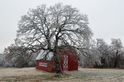 An oak tree and barn bear the effects of a major ice storm in Norman, OK, on December 21, 2013.