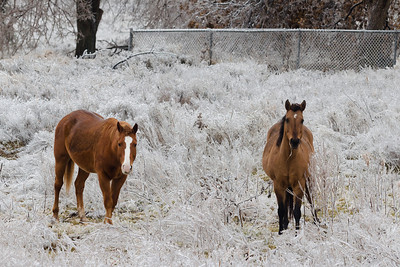 Horses attempt to graze in ice-covered grass after an ice storm in Norman, OK, on December 21, 2013.
