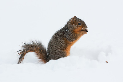 A squirrel manages to find food in the snowcover on the University of Oklahoma campus. Shot on January 29, 2010.