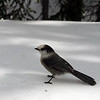 Cheeky Whisky Jack (Gray Jay) turns up as we stop for lunch