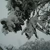 12 Sept 2004. Snow on trees.