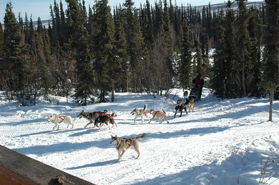 WHITE MOUNTAINS, ALASKA. Sled dogs.