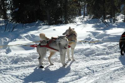 WHITE MOUNTAINS, ALASKA. Sled dogs.