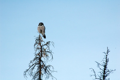WHITE MOUNTAINS, ALASKA. An owl watches us go by.