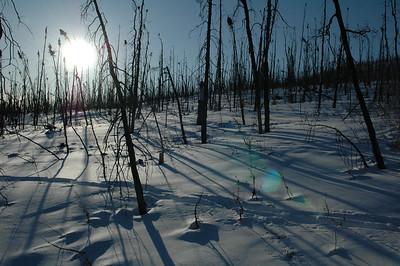 WHITE MOUNTAINS, ALASKA. Burnt Black Spruce.