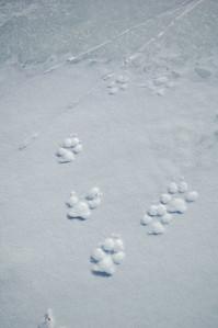 WHITE MOUNTAINS, ALASKA. Windy Gap Cabin Lake - Wolf Tracks