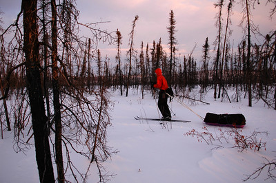 WHITE MOUNTAINS, ALASKA. Skiing through the spines of burnt Black Spruce left standing after the fire.