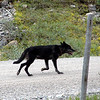 Wolf - August 2008