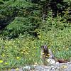 Hoary Marmot - July 2008