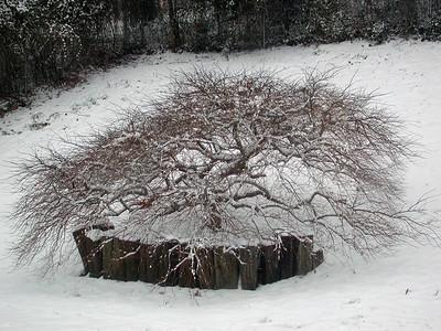 Acer Palmatum Disectum Filigree Lace
