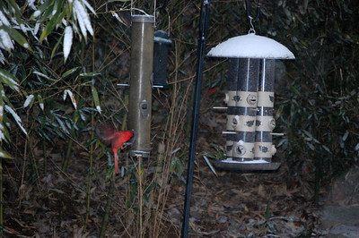 Cardinals at the Feeders
