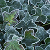 Icy ivy